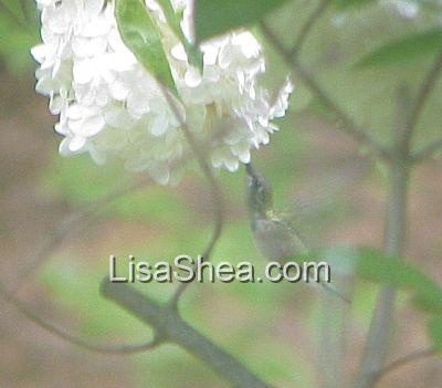 hummingbirds and hydrangea photos