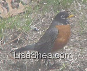 Robin bird massachusetts