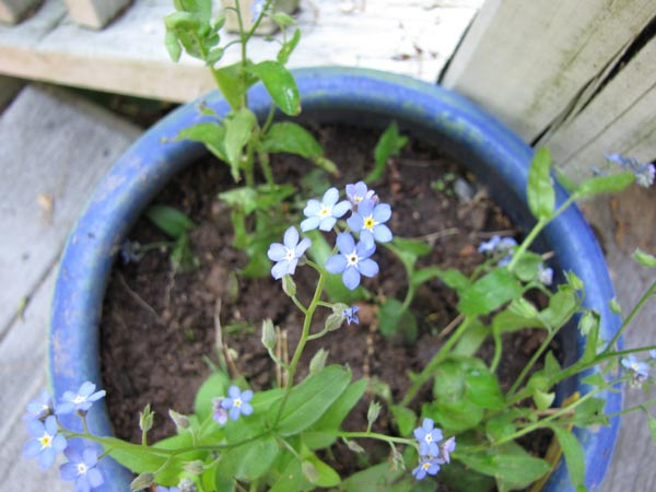These Photos Are All Courtesy Of Mensa Gardening Sig Members Forget Me Notss Grow In Machusetts