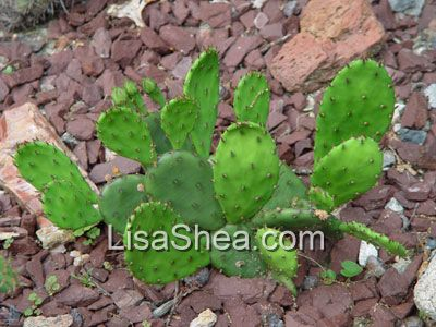 prickly pear cactus photos and information, Natural flower