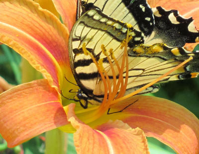 8-lilybutterfly-8x10-400