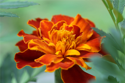 marigold-12x18-croppedbob2-400