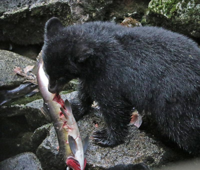 Alaskan Bear Cub with Salmon
