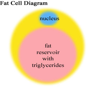 Triglycerides in Blood