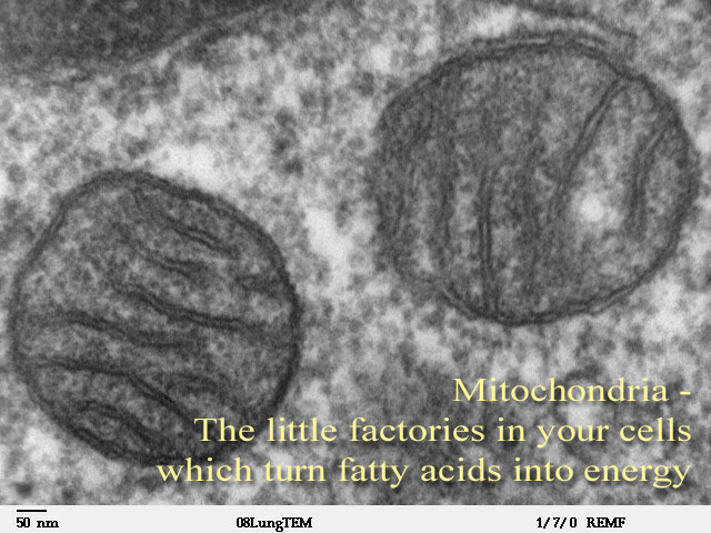 mitochondria - How the Body Burns Fat