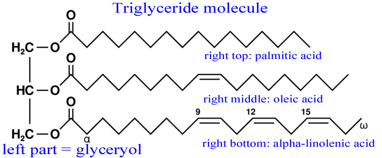Fat Storage and Triglycerides