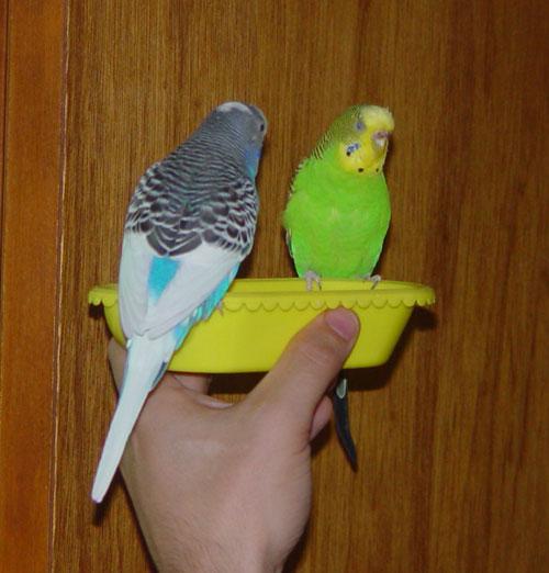 Giving a Bird a Bath - Parakeets and Bathtime