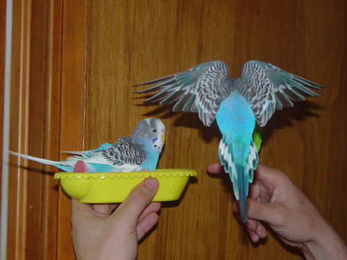 Parakeets And Flying