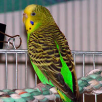 An Older Parakeet - Adopting and Caring For an Old Budgie