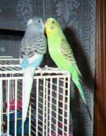 Parakeet Courtship, Fighting, and Other Interactions