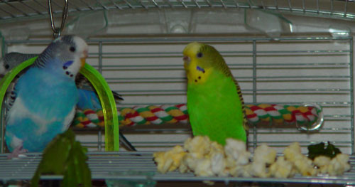 Once You Get Your Parakeet Eating Lettuce Move On To A Few Other Vegetables One At Time I D Recommend Celery Next Parakeets Love Crunch And Gnaw