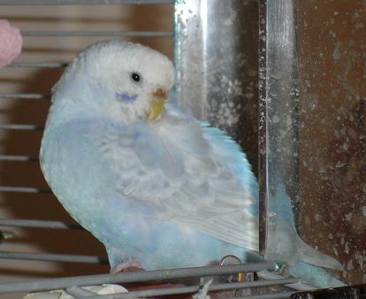 Head Tuck Parakeet Budgie And Keet Sleeping Habits
