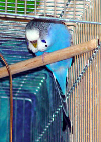Sleeping Parakeet