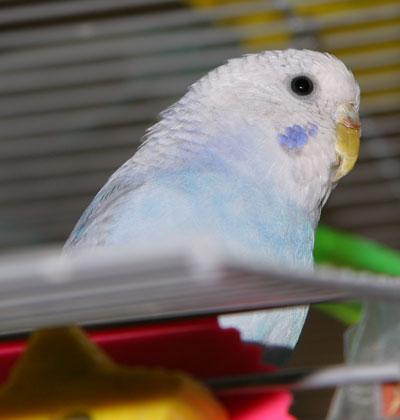 White Baby Parakeet Parakeet Vision - How ...