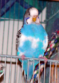 how to tell if budgie is feather plucking